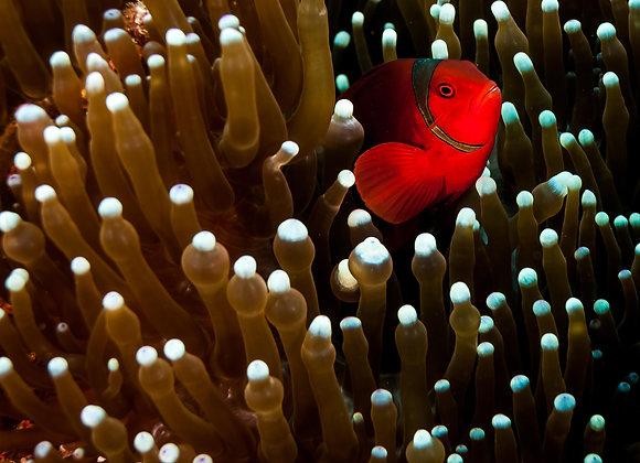 Nemo em sua anêmona-2