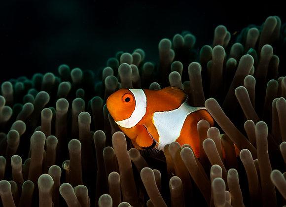 Nemo em sua anêmona-4