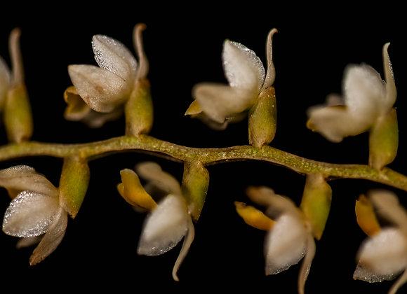 Orquídea-16