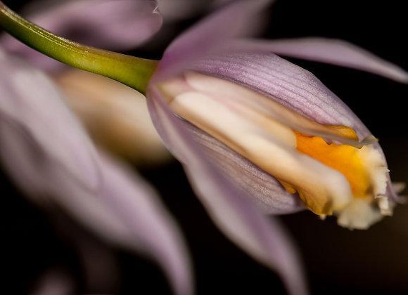 Orquídea-6