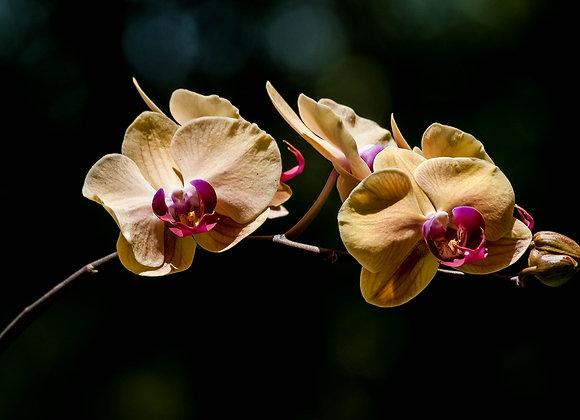 Orquídea-14