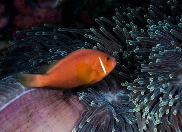 Nemo em sua anêmona-3