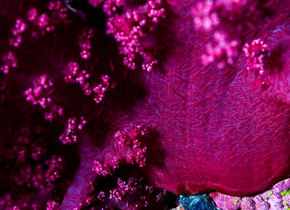 Coral mole-2
