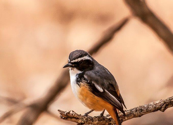 Pássaro