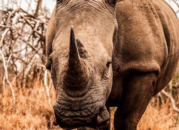 Rinoceronte-2