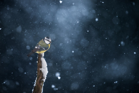 Blue Tit in a snow storm, The Netherlands