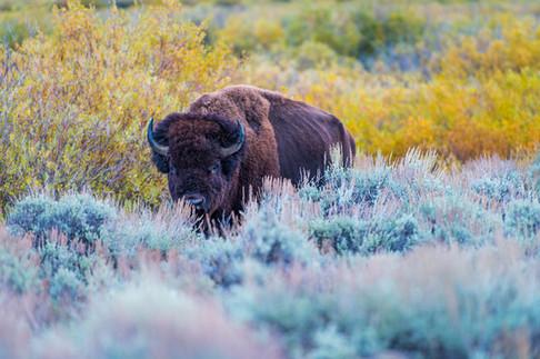 Bison, Grand Teton National Park, Wyoming, USA