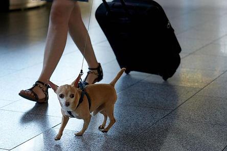 טיסה עם כלב
