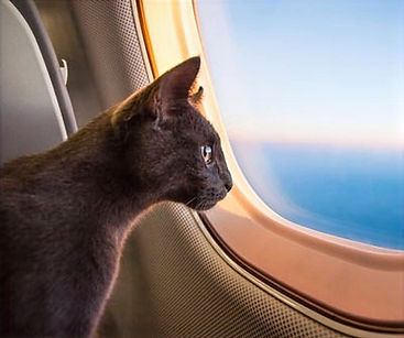 how_to_take_cat_on_plane_edited.jpg