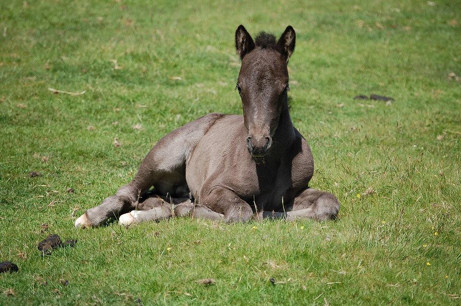 dartmoor-foal-2149728_1920.jpg