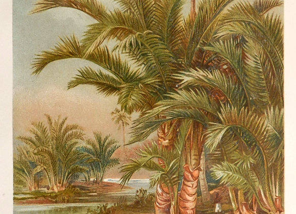 1890.Bonatical landscapes.German Chromolithograph.PALMS.Livistona and Metrocylo