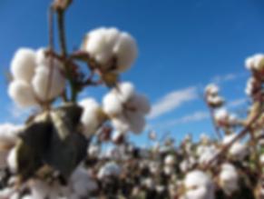 organic cotton.webp