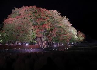 もみじ回廊 夜間ライトアップの様子 11/8