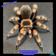 A little #tarantula to brighten up your IG  feed!  Lol. Picture blown up for detail, this
