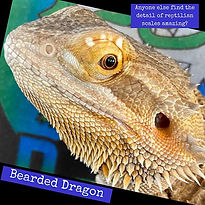 """""""Gordo"""" is one of our bearded dragons an"""