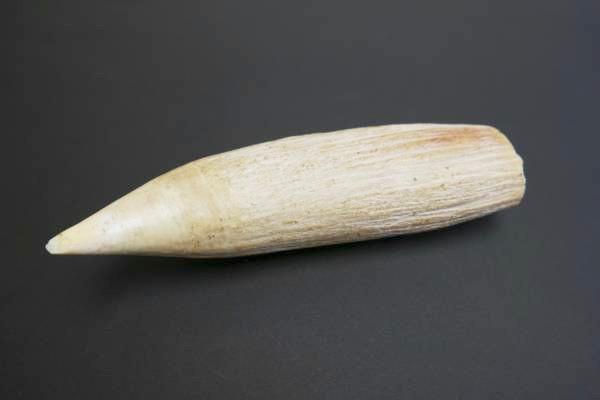 東京都杉並区のお客様からマッコウクジラの歯をお買取。
