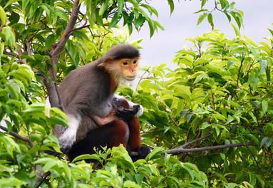 Wild monkeys at Son Tra Nature Reserve Danang