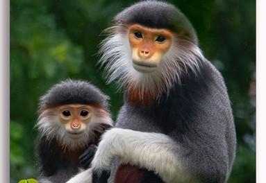 Wild monkeys in Danag