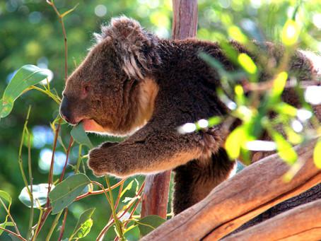 HOPE ESTATE WINERY LAUNCHES 'HOPE FOR THE KOALAS' CAMPAIGN TO HELP AUSTRALIAN KOALA FOUNDATION
