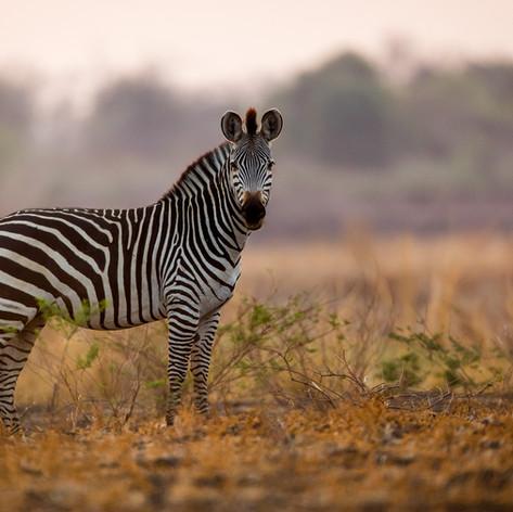 South Luangwa Zebra