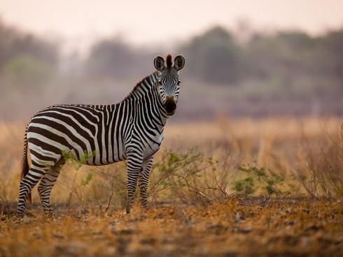 Crawshay's Zebra - South Luangwa