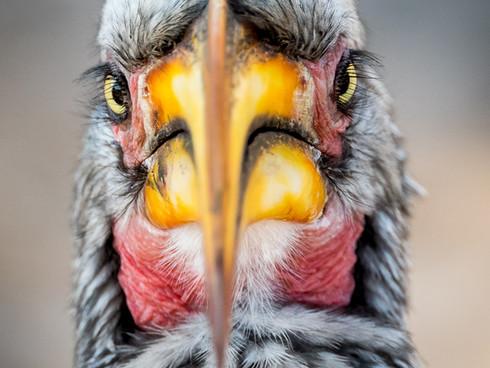 Hornbill Stare