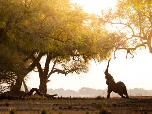 Mana Pools Elephant Stretch