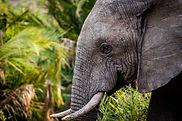 Okavango Elephant.jpg