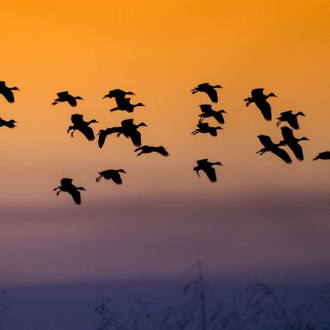White faced Ducks - Zambezi