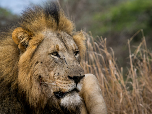 Male Lion - Sabi Sands