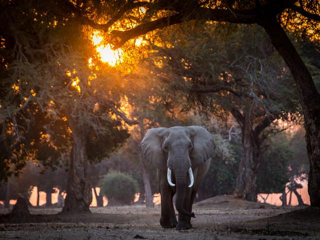 Elephant Bull - Mana Pools