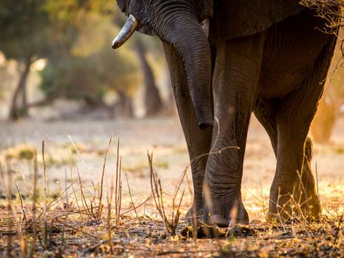 Elephant - Mana Pools