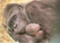 Shamba_and_Ambam_at_Howletts_Wild_Animal