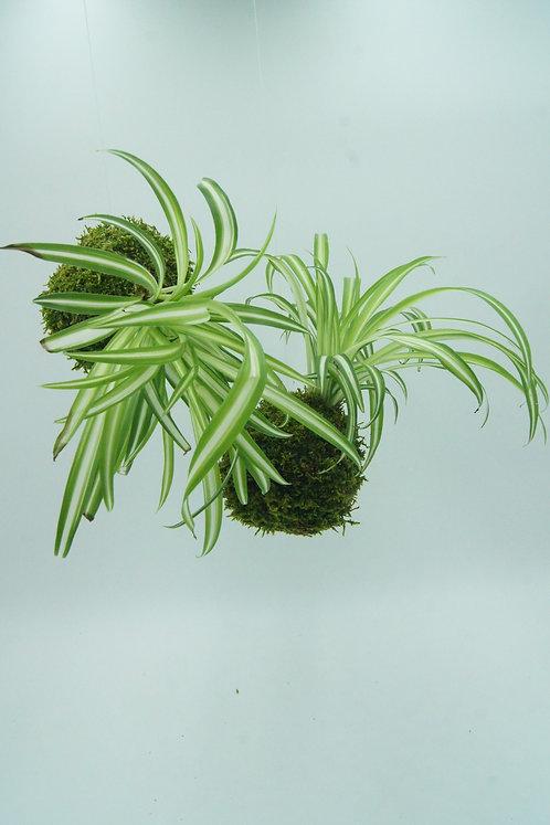 Kokedama Chlorophytum