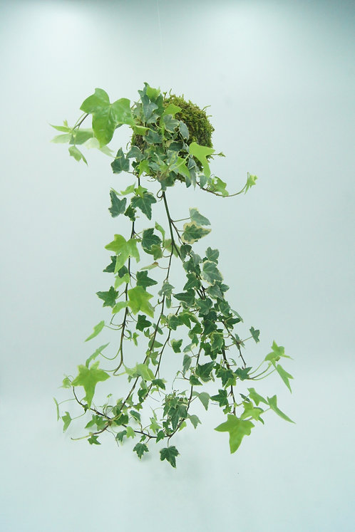 Kokedama Hedera variegata (Lierre panaché)