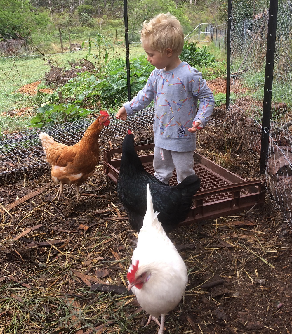 chooks are endlessly fascinating to kids