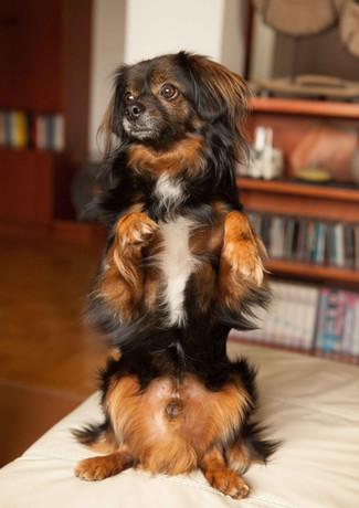 Chihuahua Mischling Balu