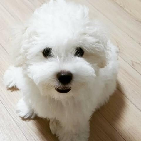 bichon-frise-dog-breed-info.jpg