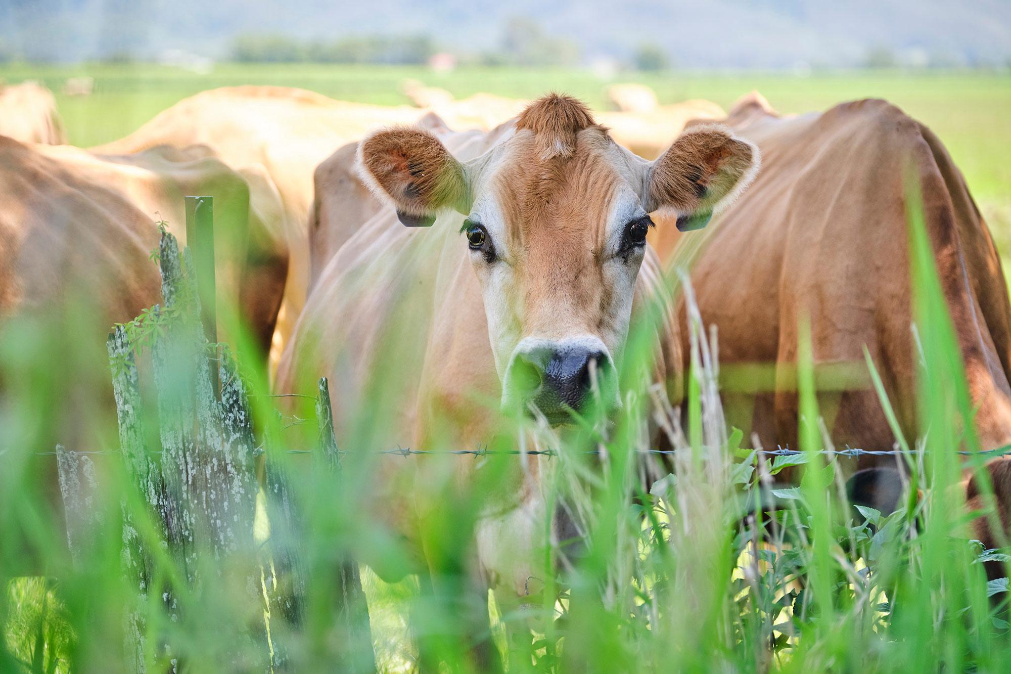Australian_Dairy_Cows.jpg