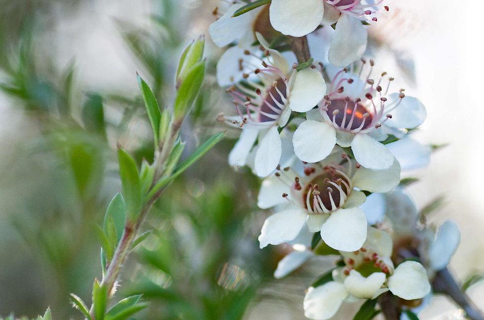 Manuka_Flowers_web.jpg