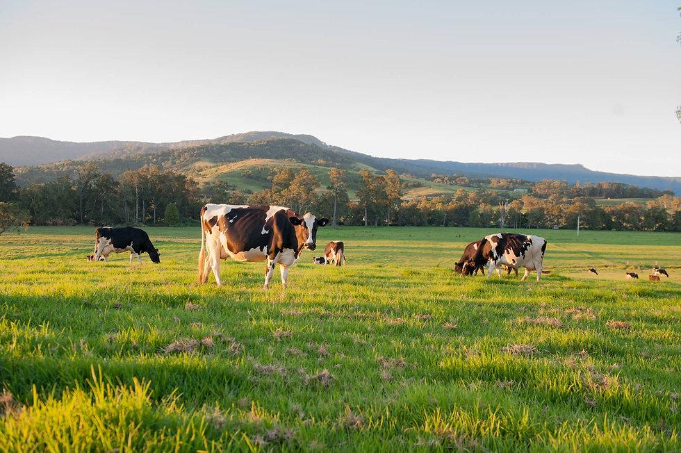 Cows_BG_Image.jpg