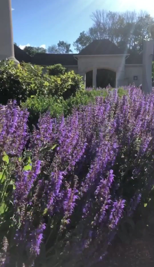 Salvia in the Wind