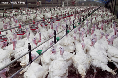 Turkeys-104_edited.jpg