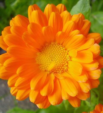Calendula Oil (Marigold)