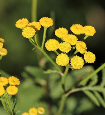 Helichyrsum Oil