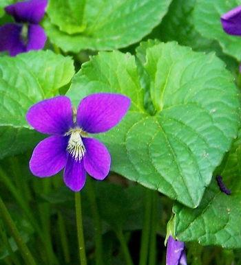 Violet Leaf Oil