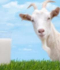 Goat Milk Extract