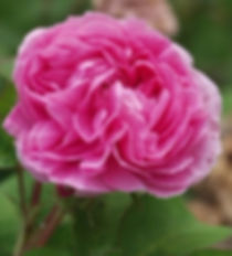 Rosa Centifolia Essential Oil