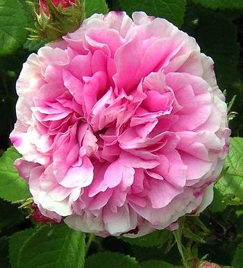 Rosa Damascena Floral Water