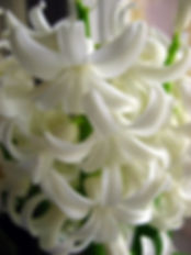 White Hyacinth Oil